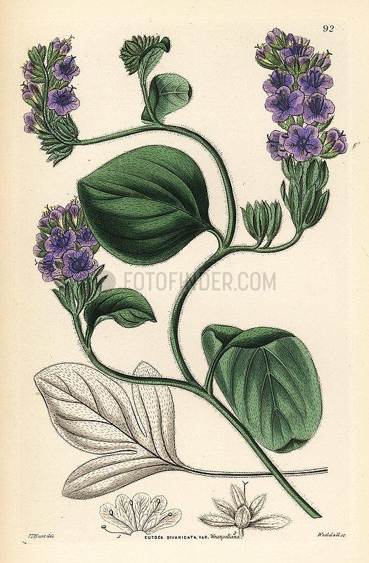 Baron Wrangel's eutoca,  Eutoca divaricata var. wrangeliana.