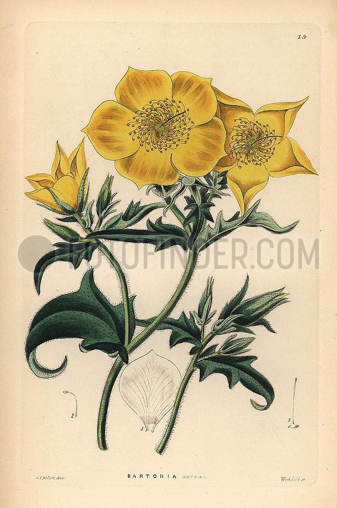 Golden bartonia,  Bartonia aurea.