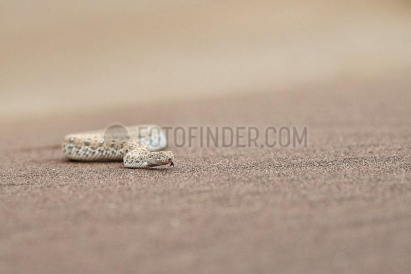 NAMIBIA,  NAMIB DESERT,  SWAKOPMUND,  PERINGUEY ADDER
