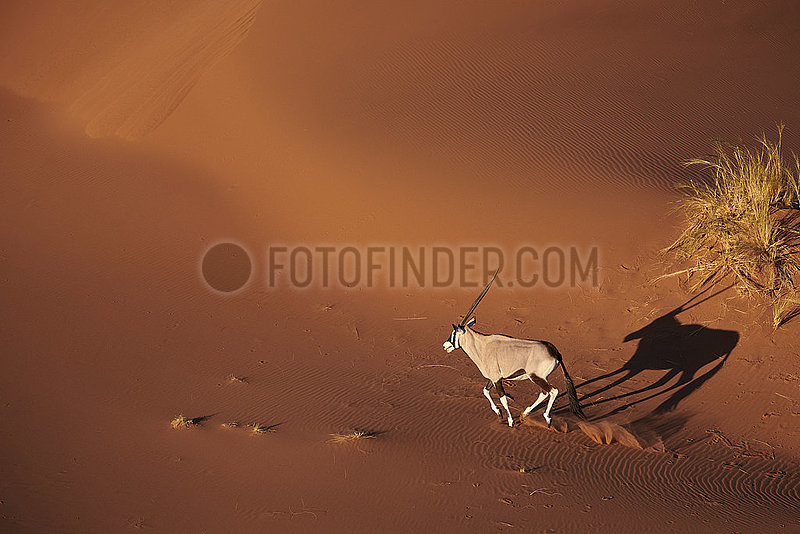 NAMIBIA,  NAMIB DESERT,  SOSSUSVLEI DUNE,  ORYX