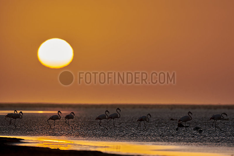 NAMIBIA,  NAMIB DESERT,  SEAFRONT,  WALVIS BAY,  GREATER FLAMINGOES