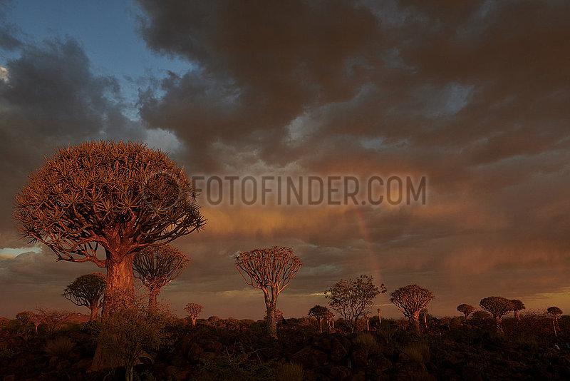NAMIBIA,  NAMIB DESERT,  QUIVERTREE