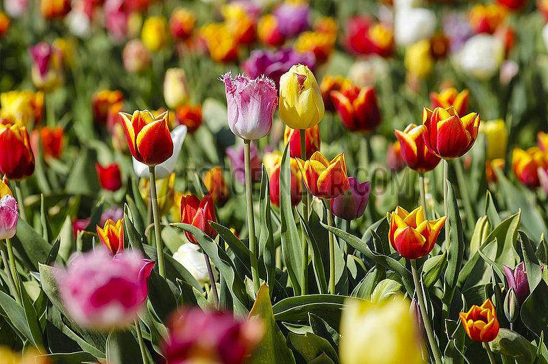 Tulpen bluehen auf Tulpenfeld,  Grevenbroich,  Nordrhein-Westfalen,  Deutschland