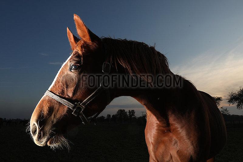 Gestuet Graditz,  Pferd am spaeten Abend auf der Weide