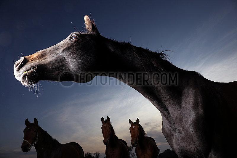 Gestuet Graditz,  Pferde am spaeten Abend auf der Weide