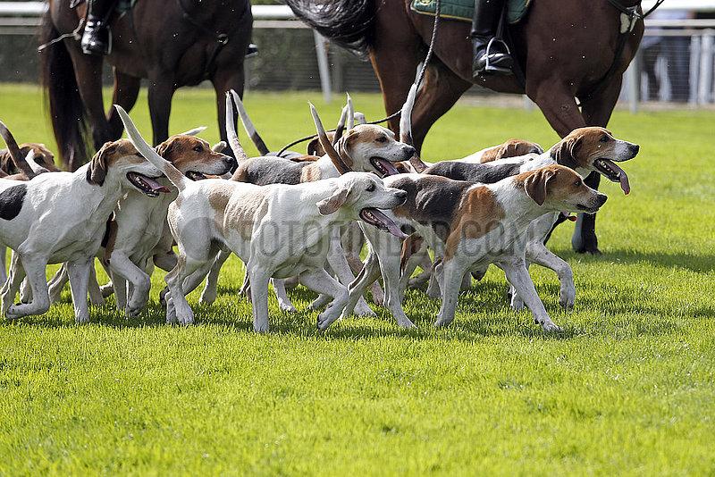 Hannover,  Deutschland,  Beagles im Rudel