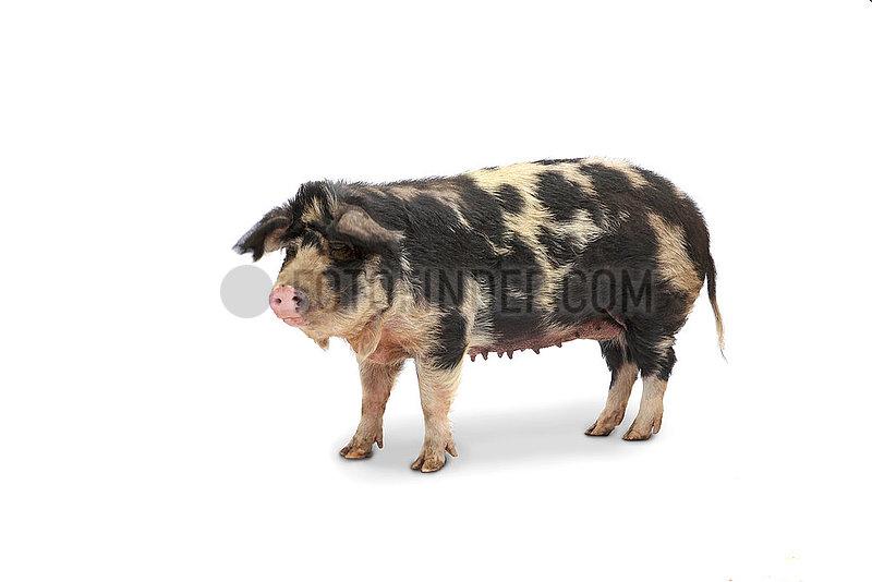 Daenisches Sortbraget-Schwein , Gloeckchenschwein,  Sau.