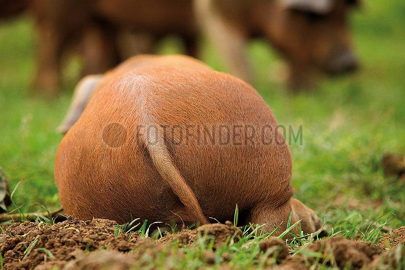 Rotbunte Husumer Schwein