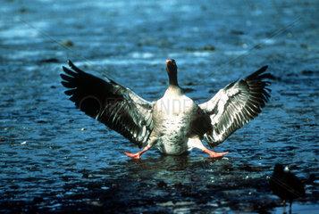 Gans im Landeanflug auf das Wasser