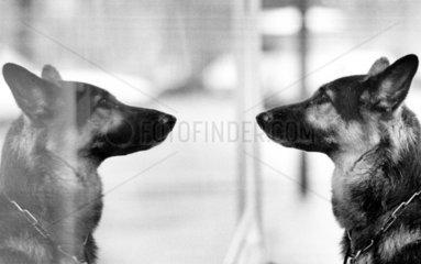 Hund vor Spiegelbilde