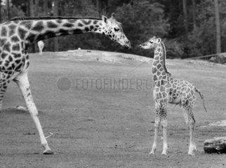 Giraffenmutter mit Giraffenkind