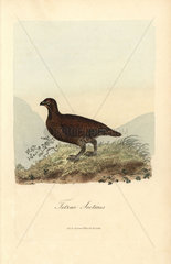 Red grouse  Lagopus lagopus scoticus