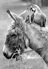 Esel mit Papagei