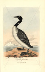 Great northern diver or loon  Gavia immer