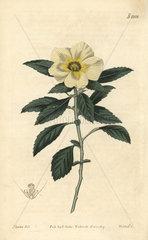 Venice-mallow flowered Turnera  Turnera trioniflora