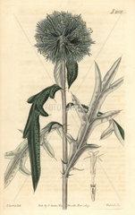 Annual globe-thistle  Echinops strigosa