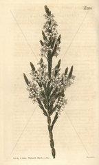 Upright struthiola  Struthiola erecta