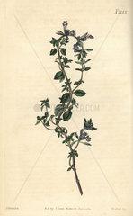 Alpine thyme  Thymus alpinus