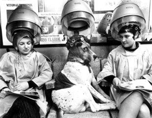 Hund mit Lockenwicklern beim Friseur