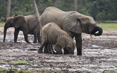 Elefant auf der Dzanga Bai