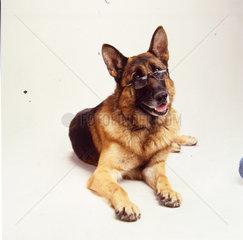 Schaeferhund mit Brille