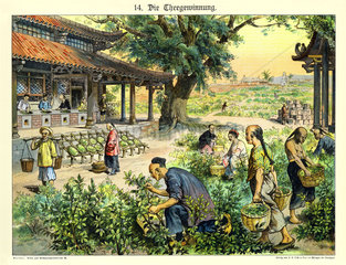 Tee-Ernte in China  1885