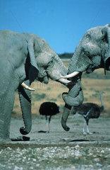 Zwei Elefanten mit verschlungenen Ruesseln