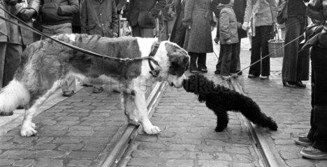 zwei Hunde beschnueffeln sich