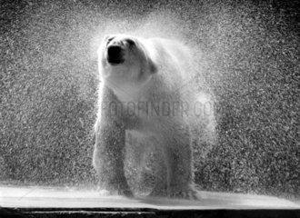Eisbaer schuettelt sich