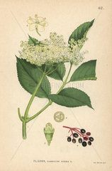 Black elder  Sambucus nigra