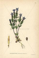 Snow gentian  Gentiana nivalis