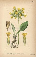 Cowslip  Primula officinalis Jacq.