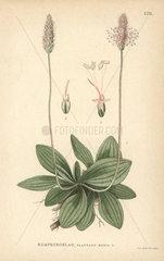 Hoary plantain  Plantago media