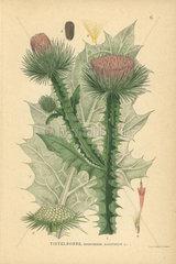 Cotton thistle  Onopordon acanthium