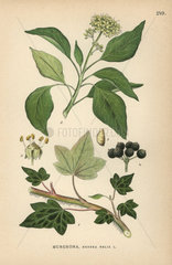 Common ivy  Hedera helix