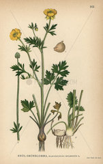 St Anthony's turnip or bulbous buttercup  Ranunculus bulbosus