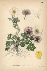 Glacial buttercup  Ranunculus glacialis