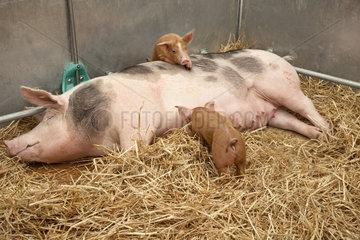 Sow with piglets - Weibliches Hausschwein mit Ferkeln im Stall