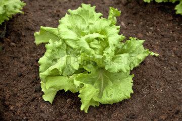 lettuce  Lactuca sativa  Kopfsalat  Gartensalat