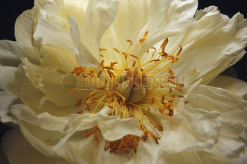 Weisse Paeonia