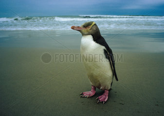 Neuseeland: Otago Halbinsel Gelbaugenpinguin
