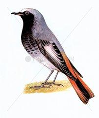 Hausrotschwanz Vogelarten Serie Singvoegel