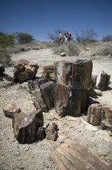 Petrified Forest  Damaraland  Namibia