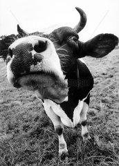 Kuh beschnueffelt Kamera