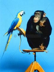 Schimpanse und Papagei sitzen auf Stuhl