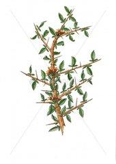 Myrrhe Commiphora myrrha Myrrhe Baum Echte Myrrhe Harz Rinde Heilpflanze