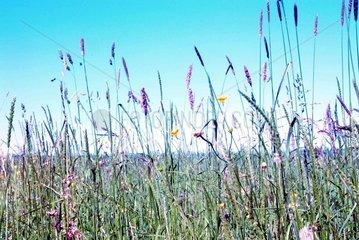 Blumenwiese Graesser Blumen Wiese