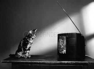Katze schaut TV