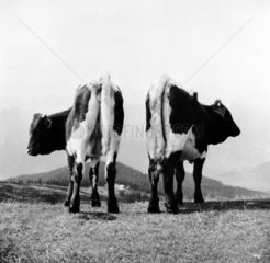 zwei Kuehe auf der Alm