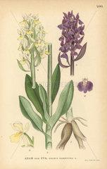 Elder-flowered orchid  Dactylorhiza sambucina